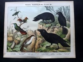 Kirby & Schubert 1889 Bird Print. Tree Creeper, Hummingbird, Raven, Rook Crow